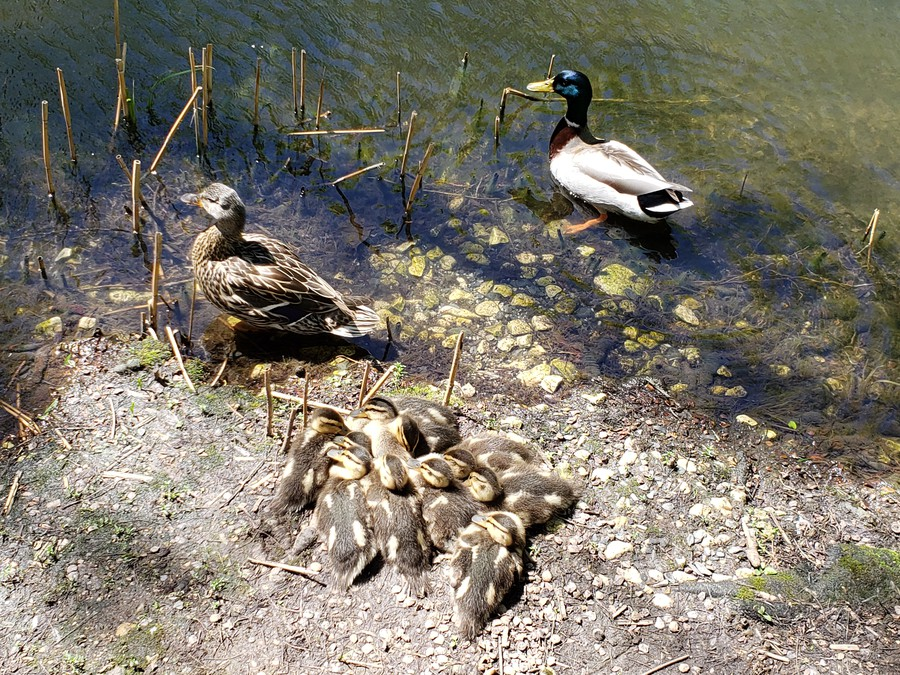 Ducks and ducklings at Botany Pond during the spring.