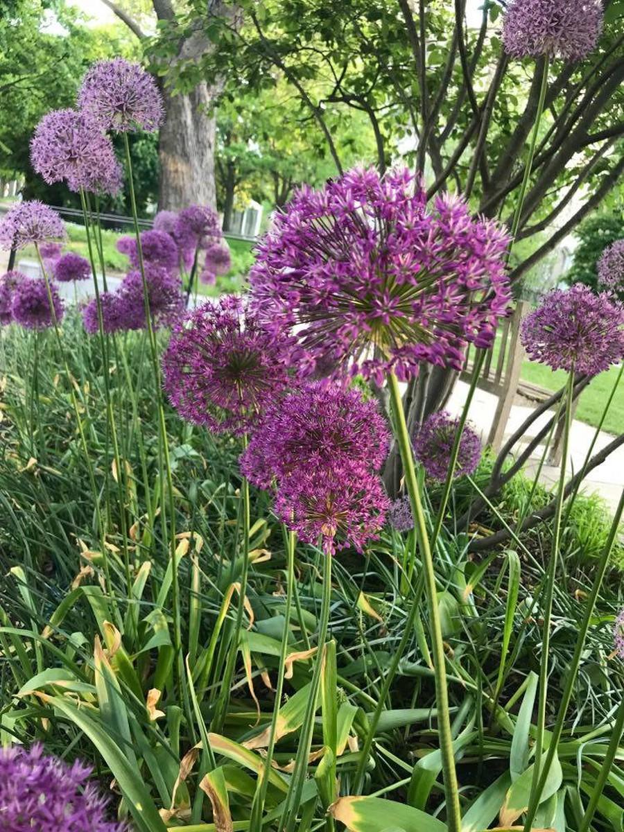 Purple alliums bloom on the Quad.
